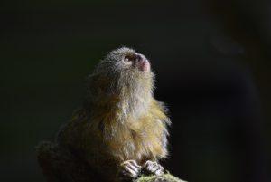 Des gènes humains pour augmenter la taille du cerveau des singes ?