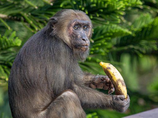 Débats éthiques autour d'embryons chimériques singe-homme