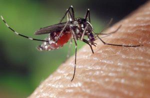 Des moustiques génétiquement modifiés relâchés en Floride