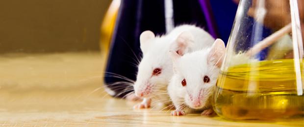 Une équipe chinoise produit des souriceaux à partir de deux souris femelles