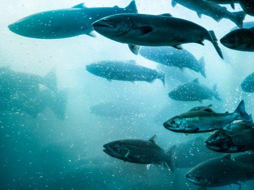 Canada : la production commerciale de saumon transgénique autorisée