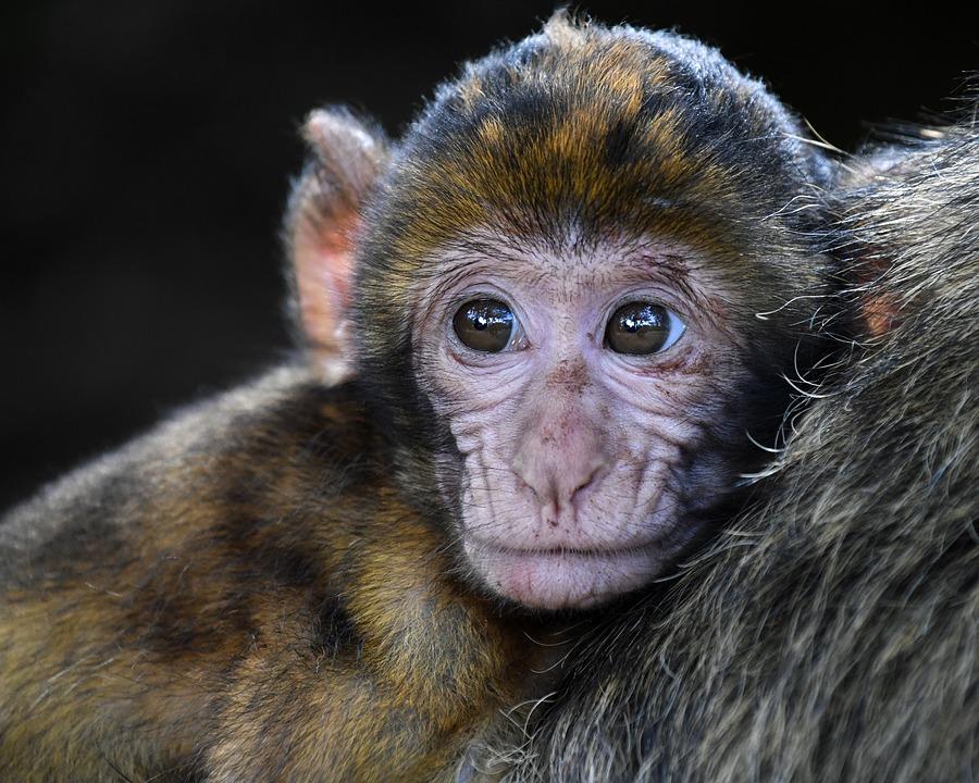 monkey-2790452_960_720