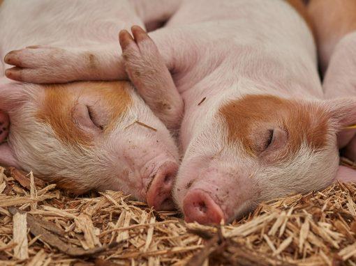 Pig brains restarted four hours after death: should brain death be redefined?